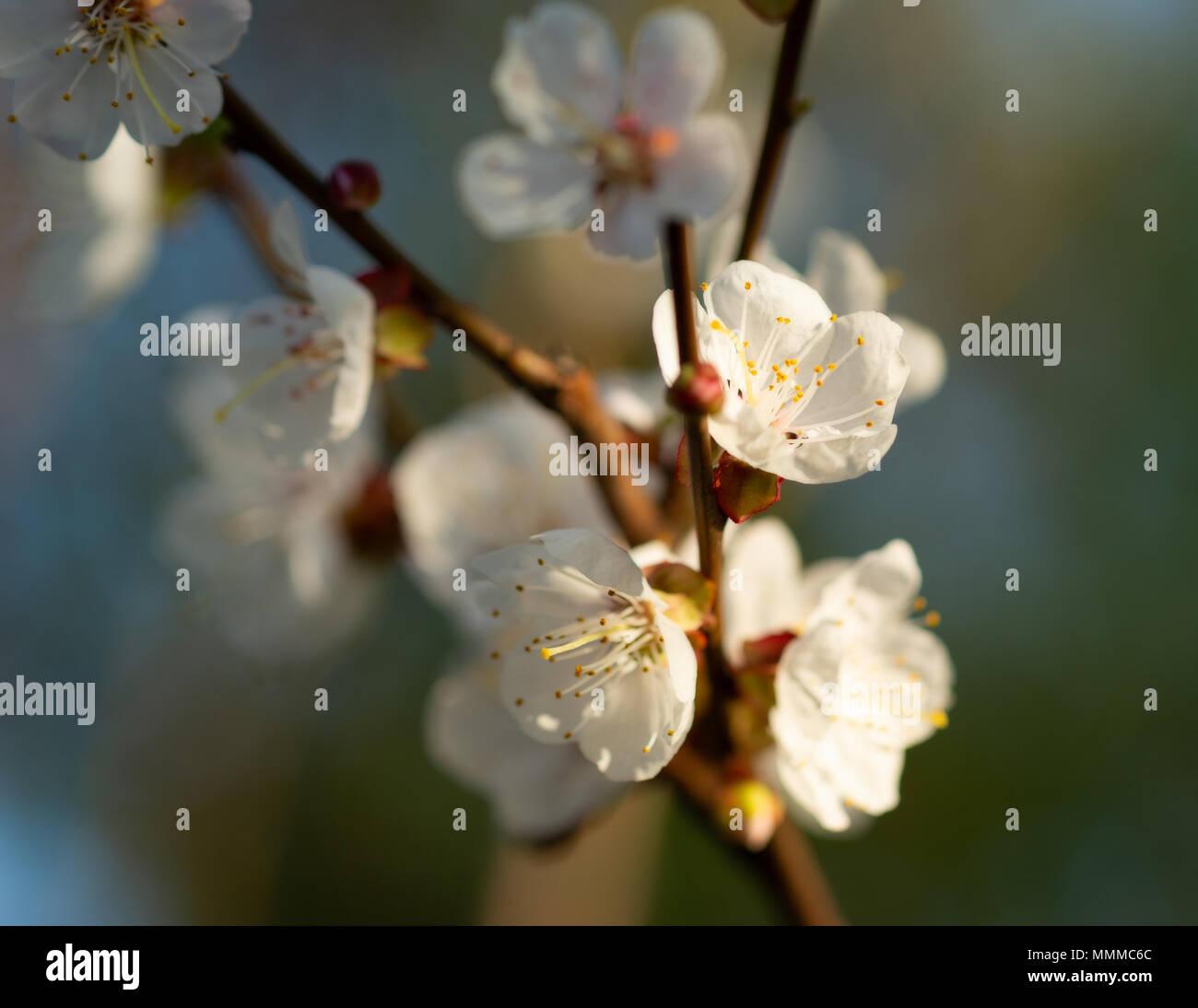 Beautiful Impressive Pink And White Japanese Apricot Sakura Flower