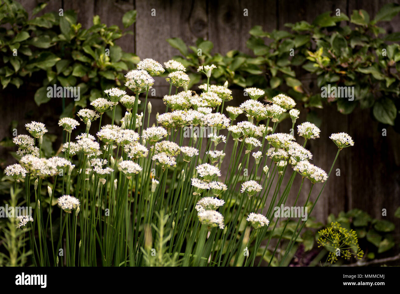 White Flowers Along A Wooden Fence In A Cottage Garden Stock Photo