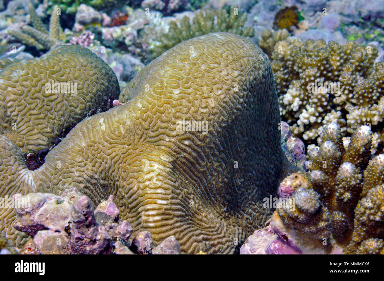 Coral Platygyra sp., Wallis Island, Wallis & Futuna, South Pacific Stock Photo