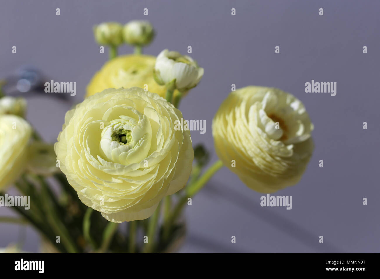 Natural white light yellow flowers a pretty closeup photo with natural white light yellow flowers a pretty closeup photo with multiple flowers in it grey background mightylinksfo