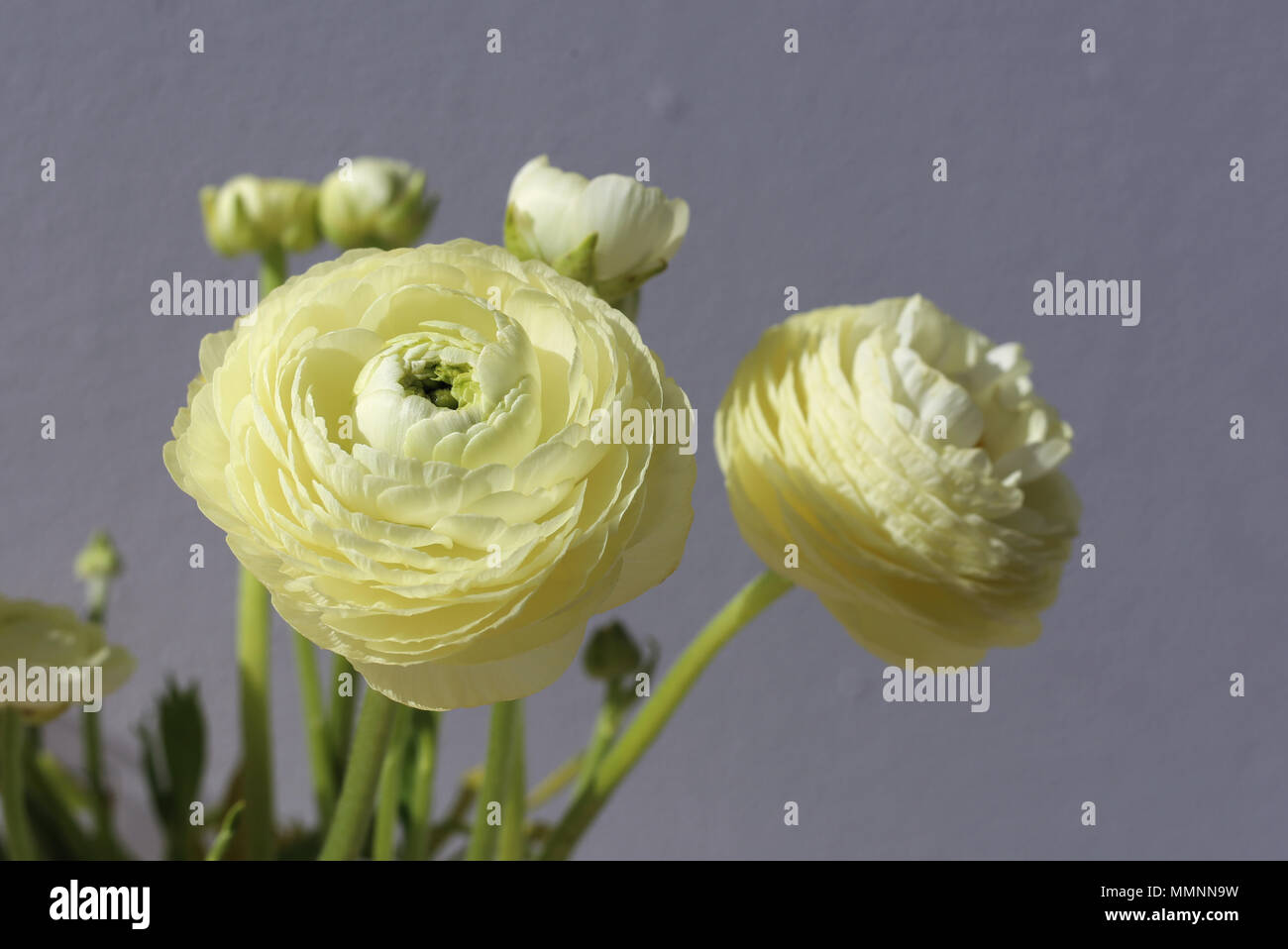 Natural White Light Yellow Flowers A Pretty Closeup Photo With