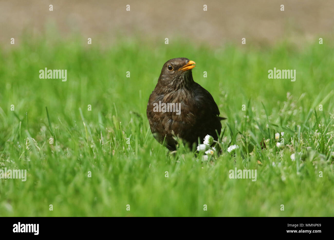 A pretty female Blackbird (Turdus merula) hunting for food in the grass. - Stock Image