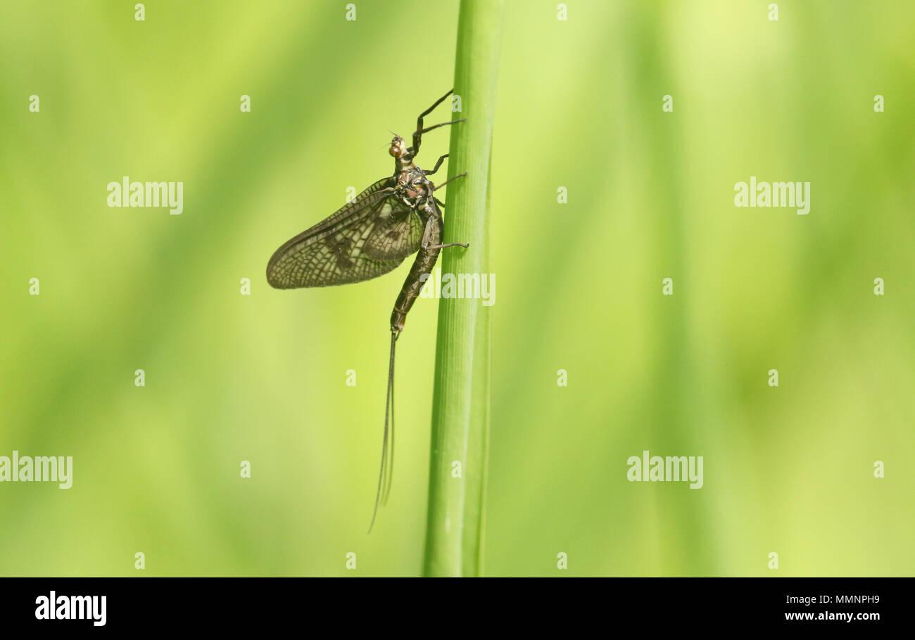 A newly emerged Mayfly ( Ephemera vulgata) perching on a grass stem. - Stock Image