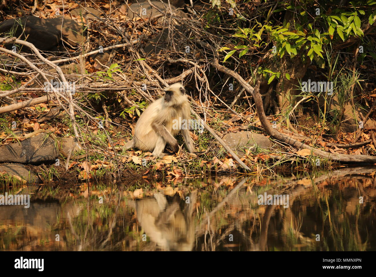 Langur monkeys reflected in watering hole, Bandhavgarh National Park, India Stock Photo