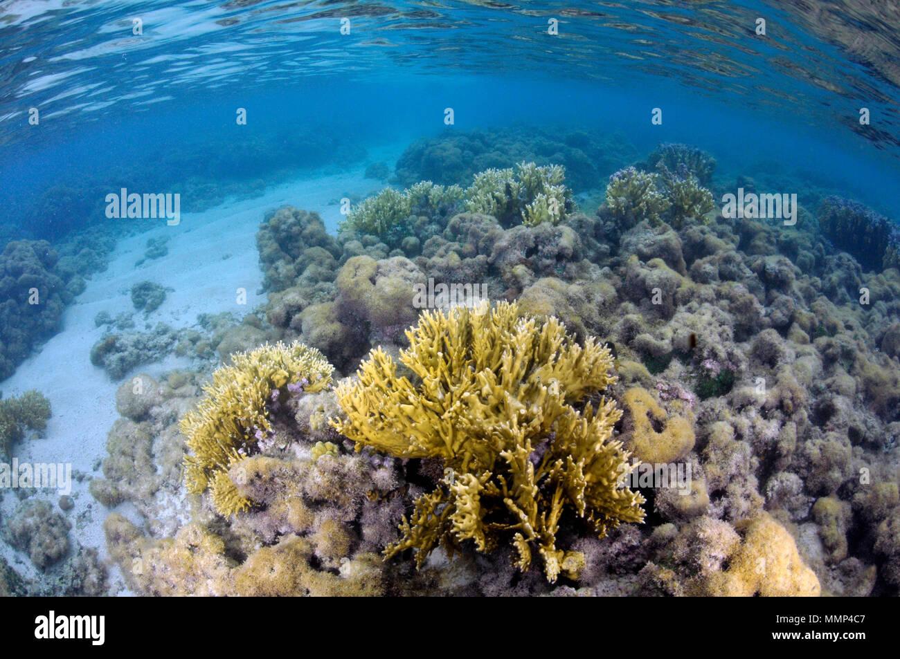 Fire coral, Millepora alcicornis, among dead coral reef at the Maragogi Natural Pools, Maragogi, Alagoas, Brazil - Stock Image