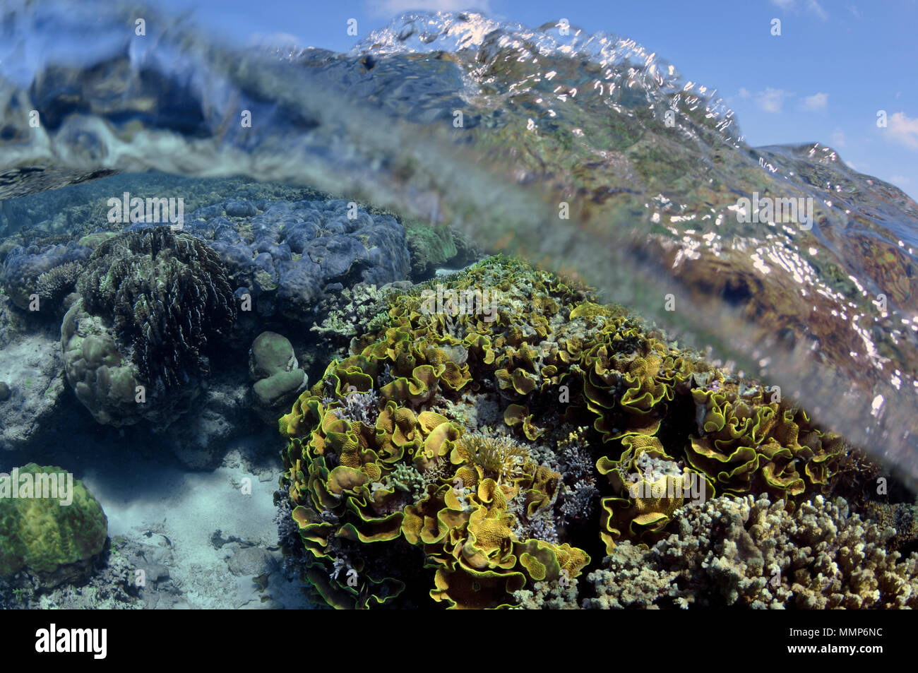 Pristine coral reef , mainly lettuce (scroll) coral, Turbinaria reniformis, and water surface, Pohnpei, Federated States of Micronesia - Stock Image
