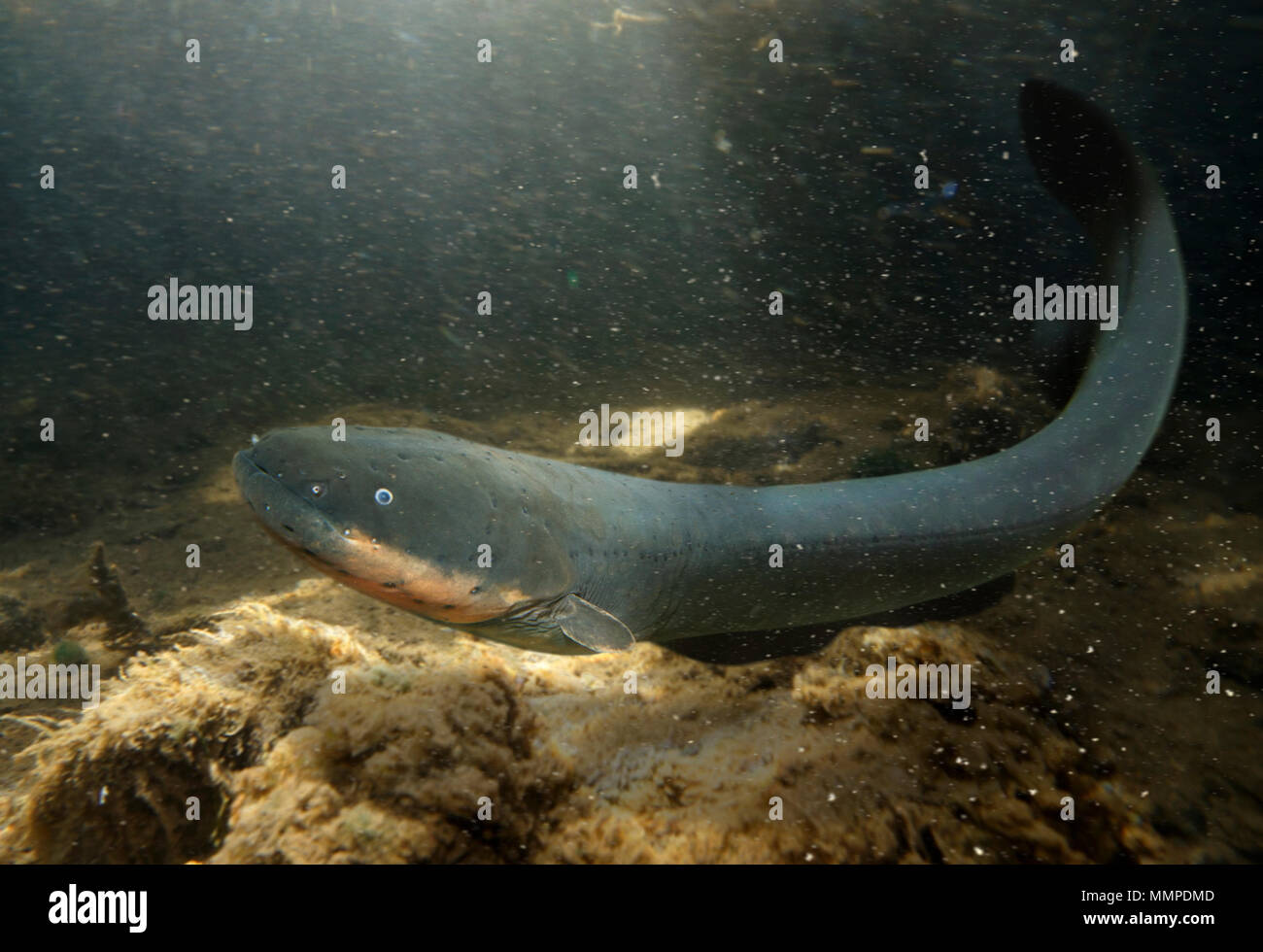 Electric eel, Electrophorus electricus. The electric eel has three pairs of abdominal organs that produce electricity for lethal discharges that allow - Stock Image