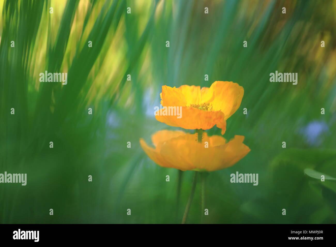 blurred view of island poppy Stock Photo