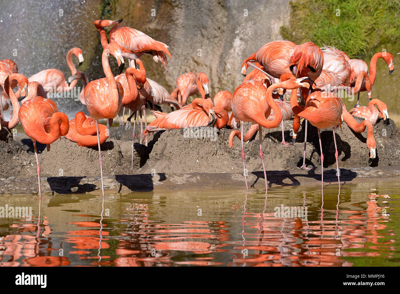 Group of Carribean flamingos (Phoenicopterus ruber) in water and on their ground nests Stock Photo