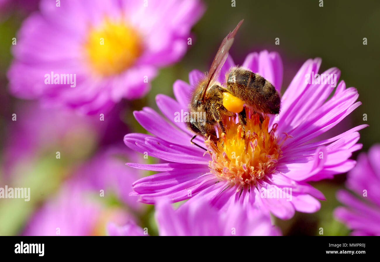 Macro of honey bee (Apis) feeding on aster flower with pollen Stock Photo