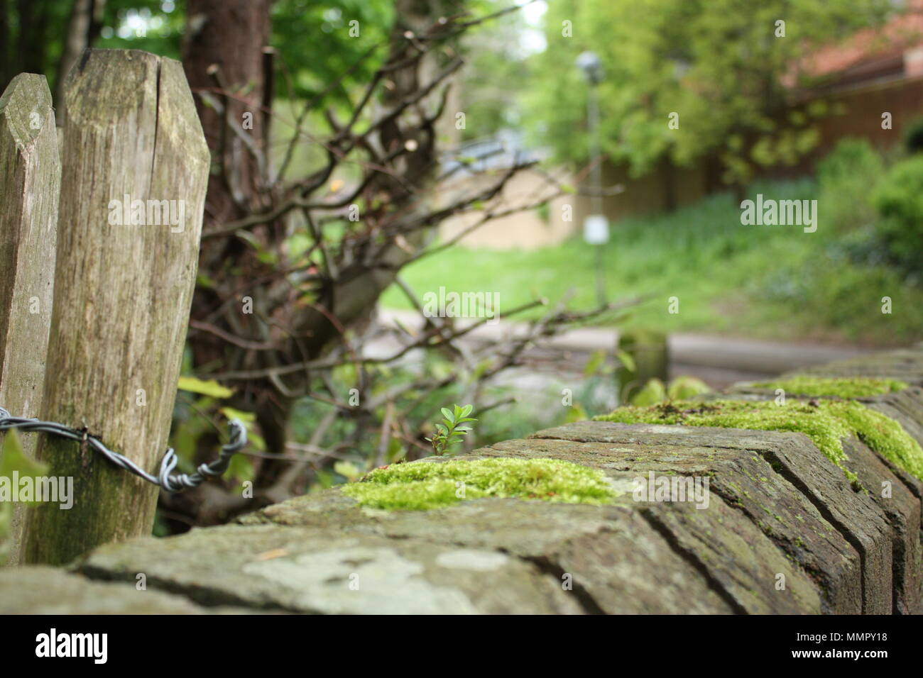 A moss-covered fence diverges from a low moss-covered wall in the early spring as plants all around begin to sprout in the warm weather. - Stock Image