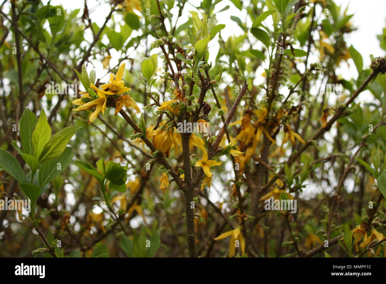 Small yellow flowers which adorn the bushes begin to wilt in the heat wave. - Stock Image