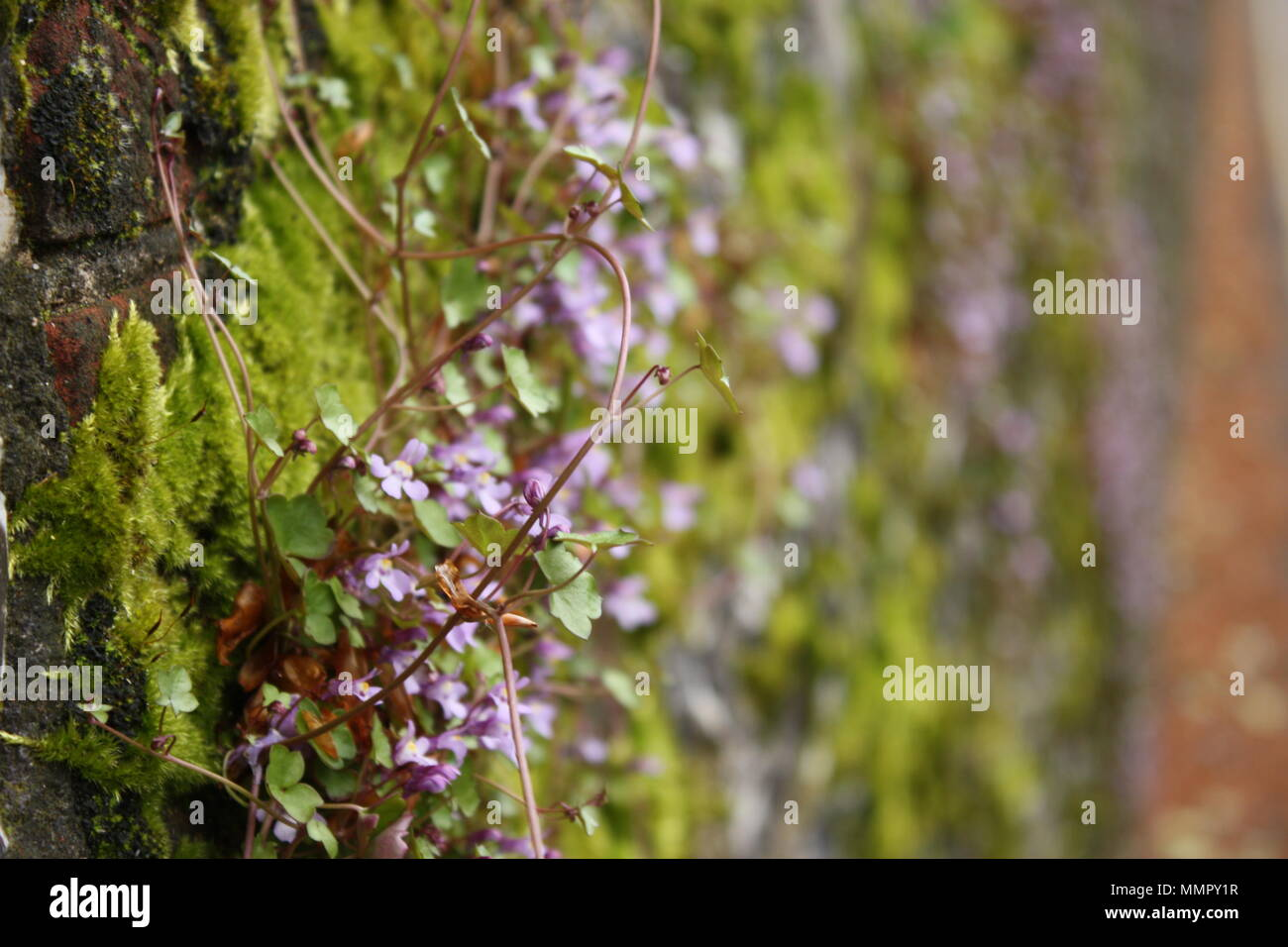 Small Purple Flowers Creep Up A Moss Covered Wall In The South Of