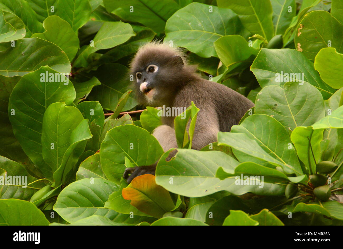 Spectacled Leaf Monkey In Leafy Tree - Stock Image