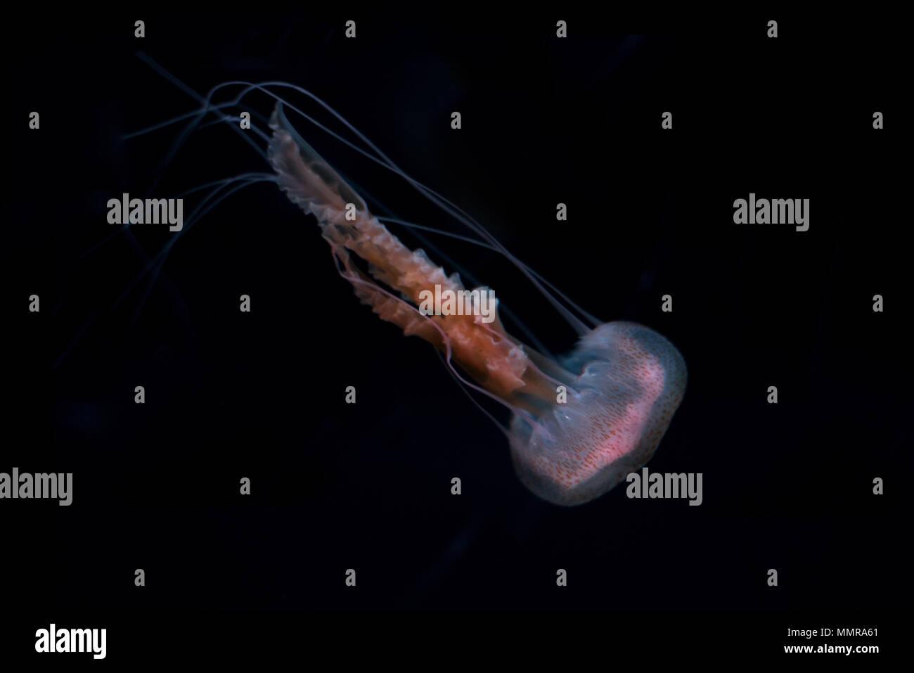 Jelly fish on black isolated background - Stock Image