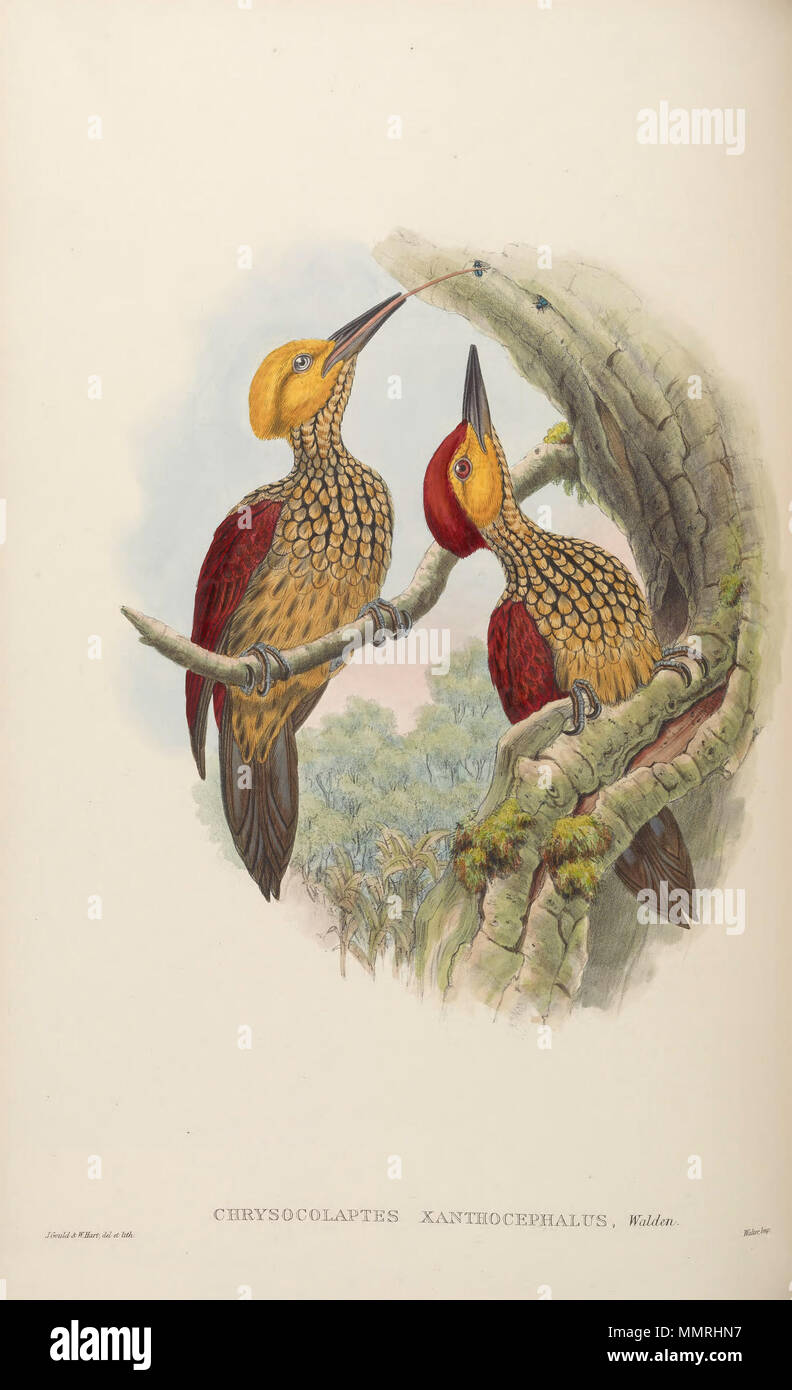 . Chrysocolaptes xanthocephalus  . between 1850 and 1883.   John Gould  (1804–1881)      Alternative names Gould  Description British zoologist  Date of birth/death 14 September 1804 2 March 1881  Location of birth/death Lyme Regis London  Authority control  : Q313787 VIAF:?29597222 ISNI:?0000 0001 2125 9888 ULAN:?500006638 LCCN:?n79100355 NLA:?35137514 WorldCat    &  Henry Constantine Richter  (1821–1902)    Description British animal painter  Date of birth/death 1821 16 March 1902  Location of birth Royal Borough of Kensington and Chelsea  Authority control  : Q1567083 VIAF:?227079511 ISNI:? - Stock Image