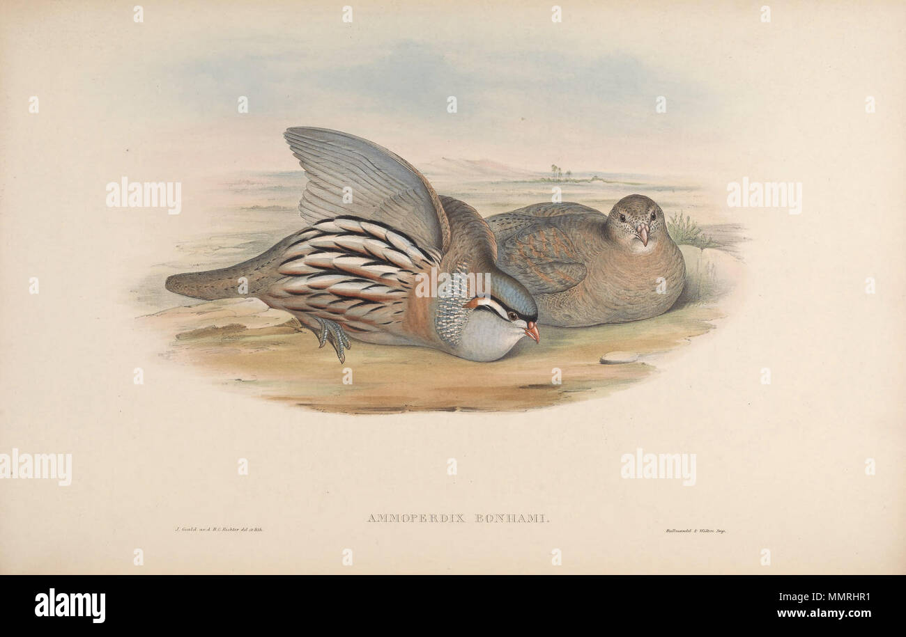 . Ammoperdix bonhami = Ammoperdix griseogularis[1]  . between 1850 and 1883.   John Gould  (1804–1881)      Alternative names Gould  Description British zoologist  Date of birth/death 14 September 1804 2 March 1881  Location of birth/death Lyme Regis London  Authority control  : Q313787 VIAF:?29597222 ISNI:?0000 0001 2125 9888 ULAN:?500006638 LCCN:?n79100355 NLA:?35137514 WorldCat    &  Henry Constantine Richter  (1821–1902)    Description British animal painter  Date of birth/death 1821 16 March 1902  Location of birth Royal Borough of Kensington and Chelsea  Authority control  : Q1567083 VIA - Stock Image