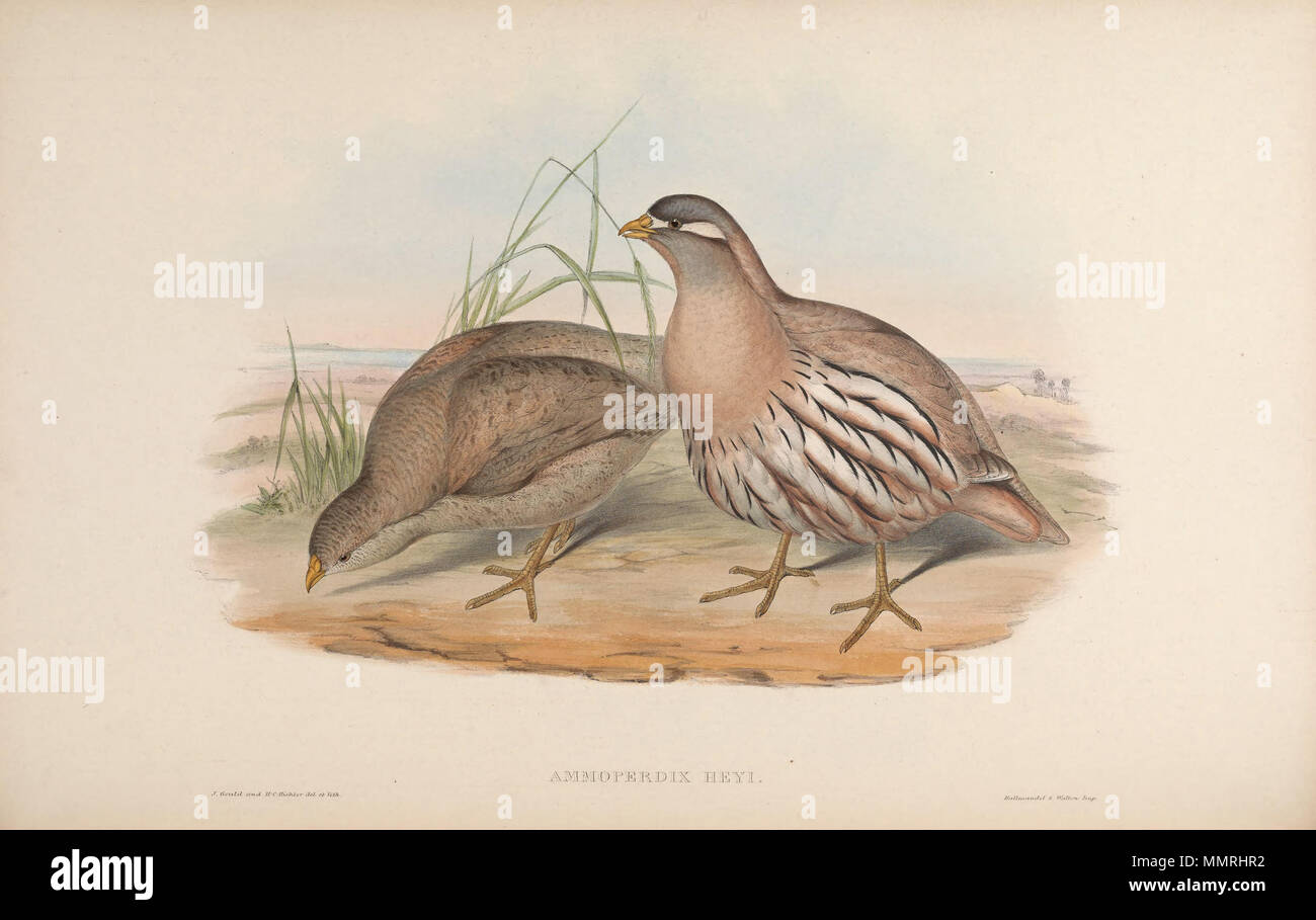 . Ammoperdix heyi  . between 1850 and 1883.   John Gould  (1804–1881)      Alternative names Gould  Description British zoologist  Date of birth/death 14 September 1804 2 March 1881  Location of birth/death Lyme Regis London  Authority control  : Q313787 VIAF:?29597222 ISNI:?0000 0001 2125 9888 ULAN:?500006638 LCCN:?n79100355 NLA:?35137514 WorldCat    &  Henry Constantine Richter  (1821–1902)    Description British animal painter  Date of birth/death 1821 16 March 1902  Location of birth Royal Borough of Kensington and Chelsea  Authority control  : Q1567083 VIAF:?227079511 ISNI:?0000 0003 6475 - Stock Image