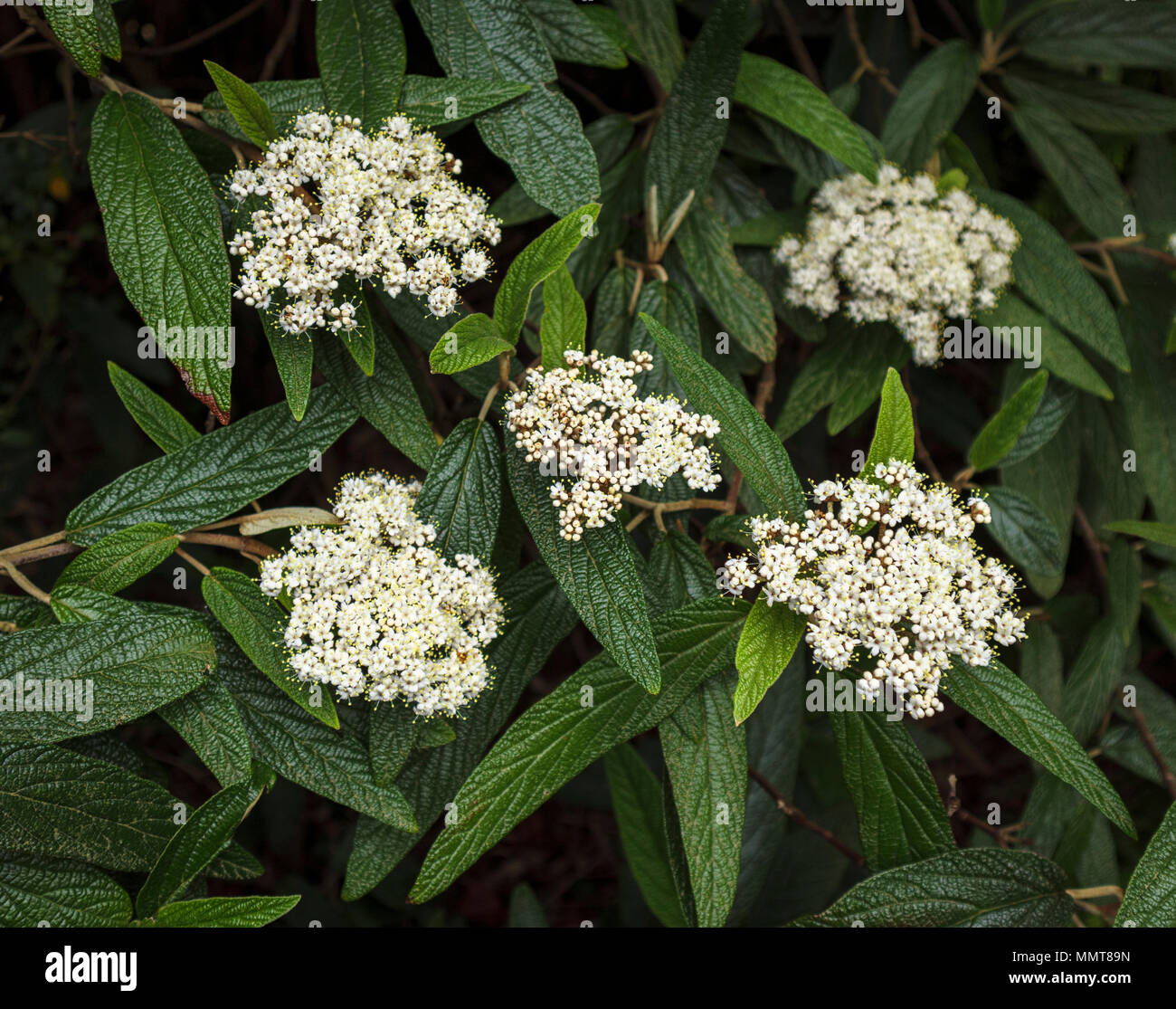 Small, delicate white viburnum (Viburnum rhytidophyllum) flowers, an evergreen shrub flowering in spring in a garden in Surrey, southern England, UK - Stock Image