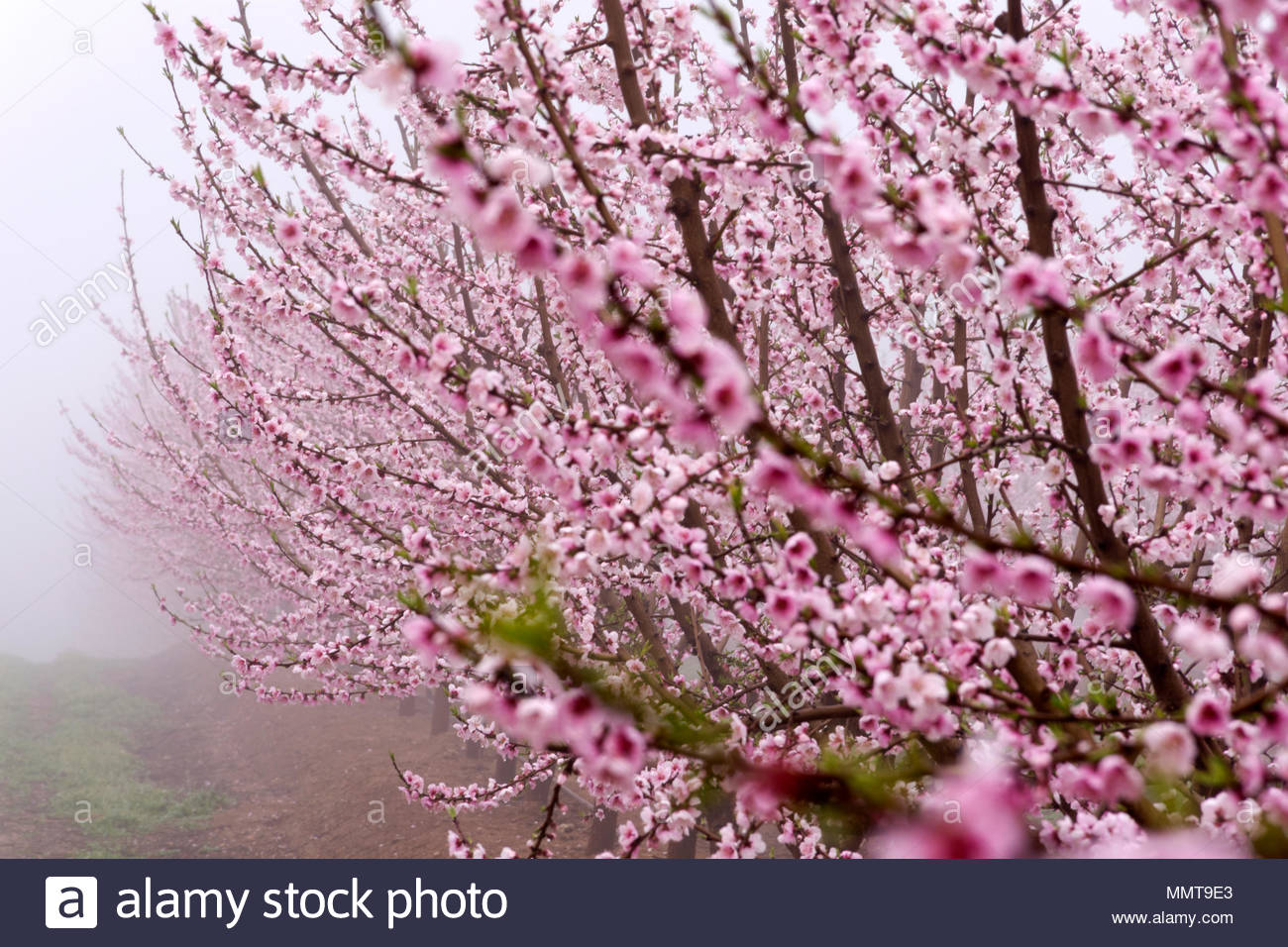 Field With Rows Of Peach Treeswith Branches Full Of Delicate Pink