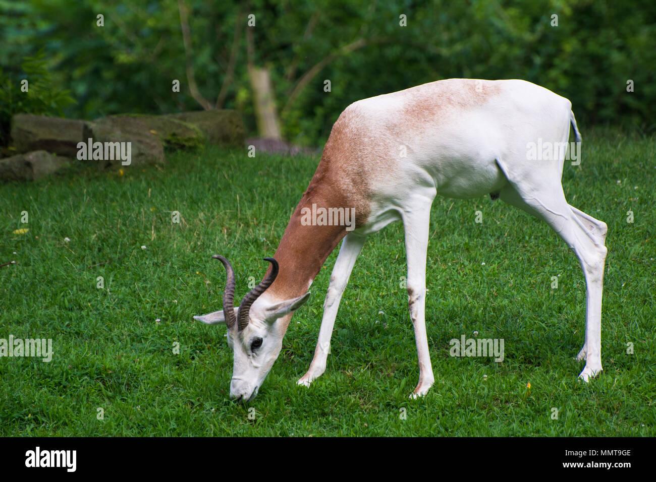 Springbok antelope, Pittsburgh Zoo, Pittsburgh, PA, USA - Stock Image