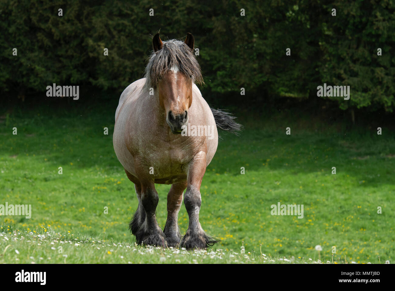 belgian draft horse - Stock Image
