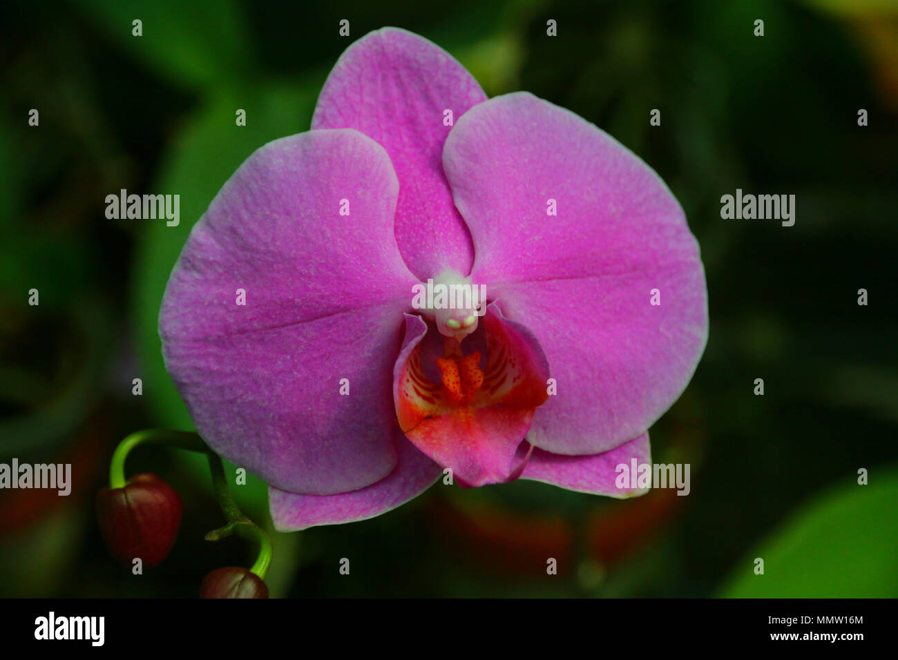 Magneficient pink / purple coloured orchid in a botanic garden. - Stock Image