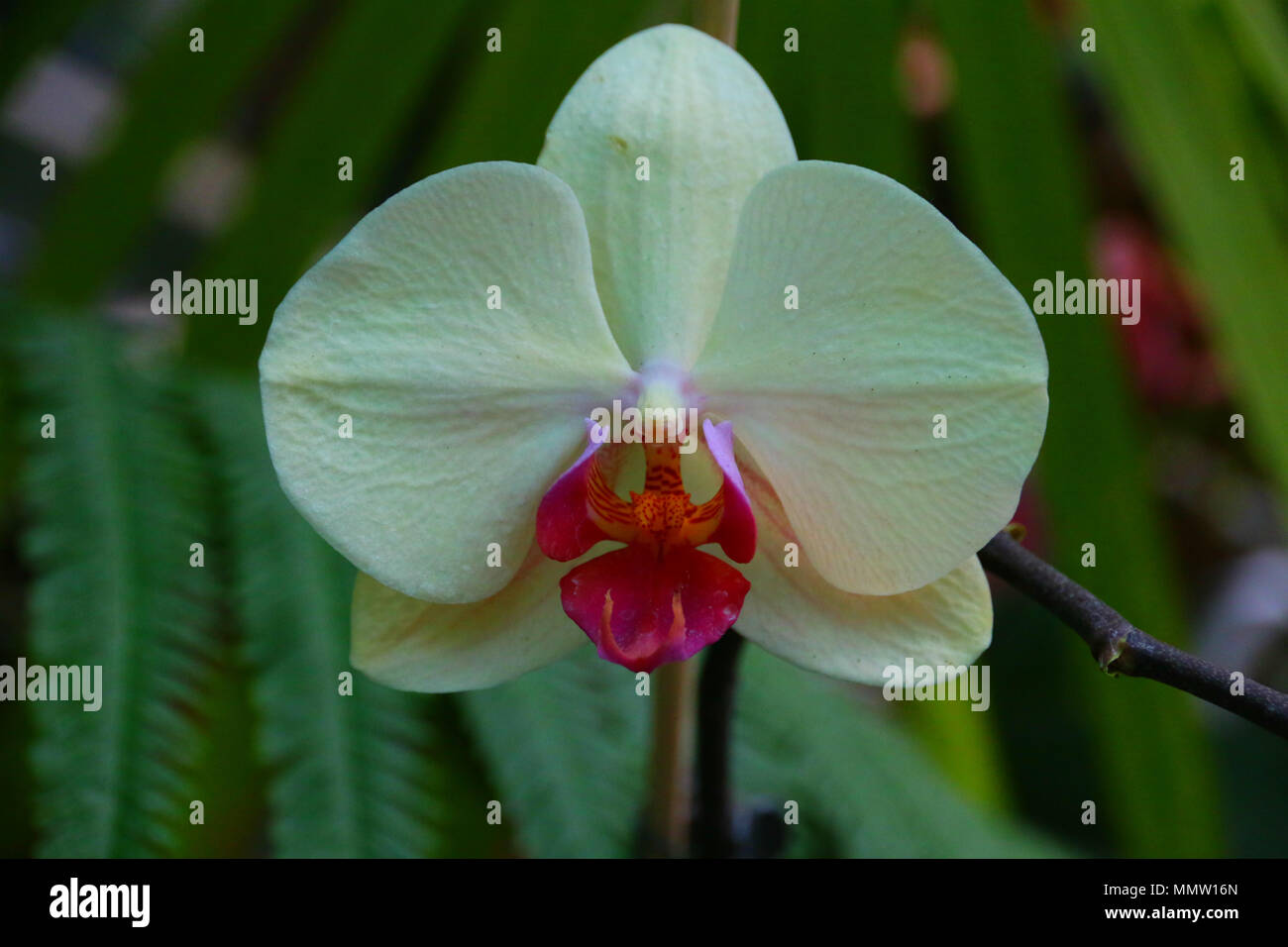Beautiful orchid with white coloured leaves in a botanic garden. - Stock Image