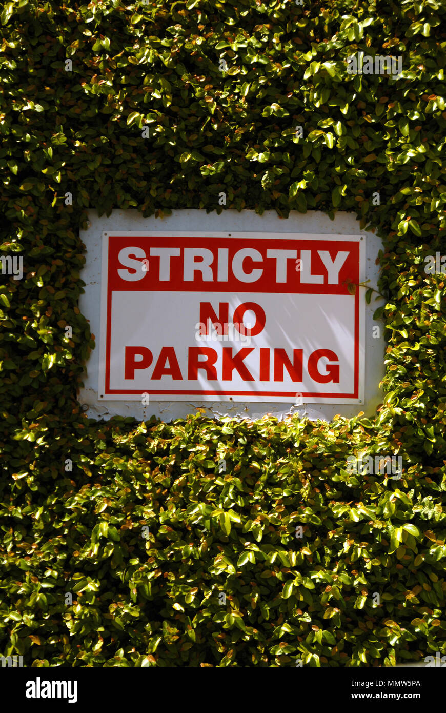 strictly no parking sign almost lost in a hedge - Stock Image