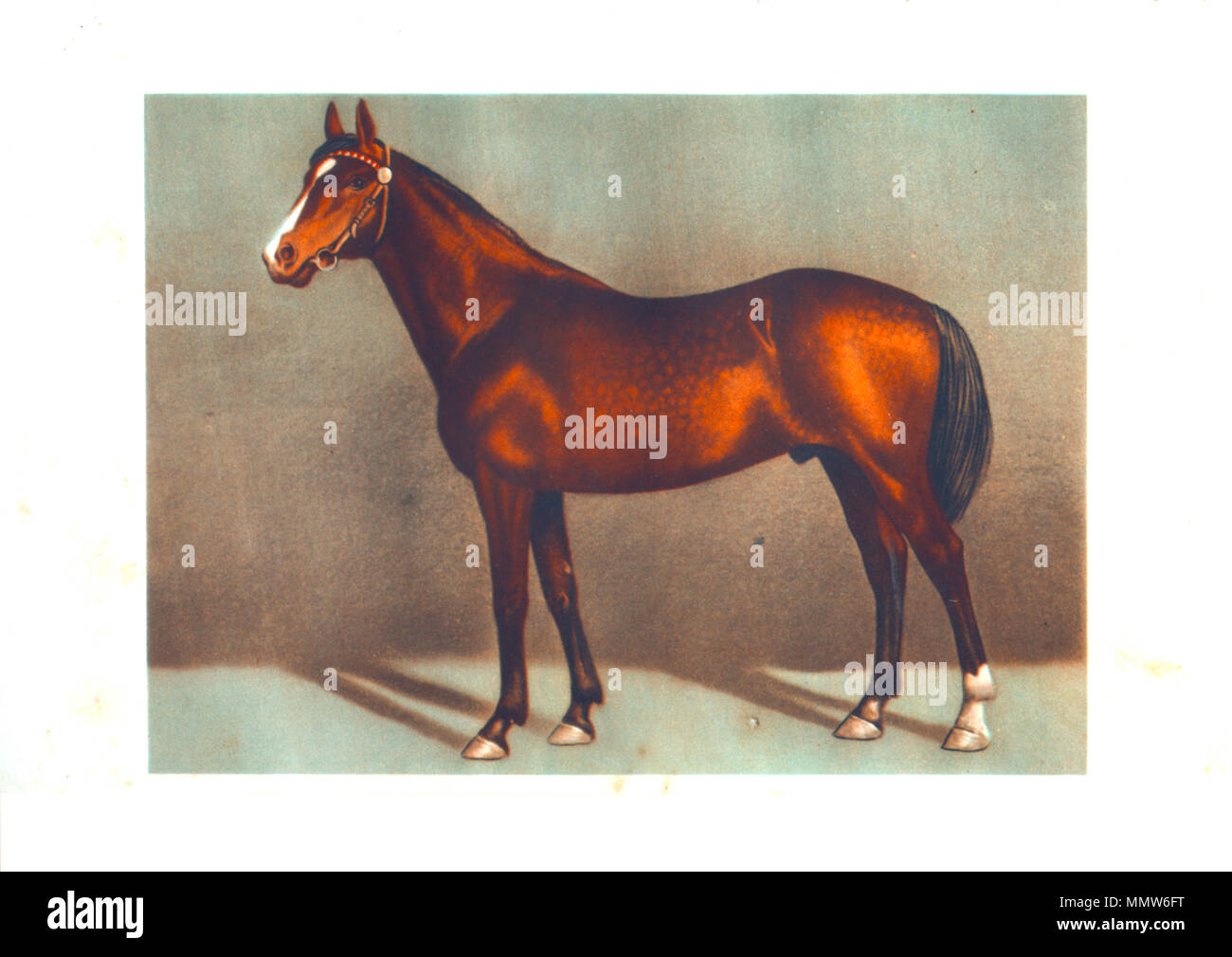 draw thoroughbred's stallion horses - Stock Image