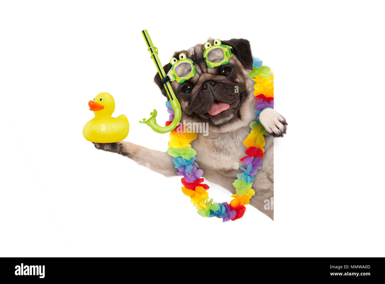 funny summer pug dog with hawaiian flower garland, snorkel and goggles, holding up yellow rubber ducky, isolated on white background - Stock Image