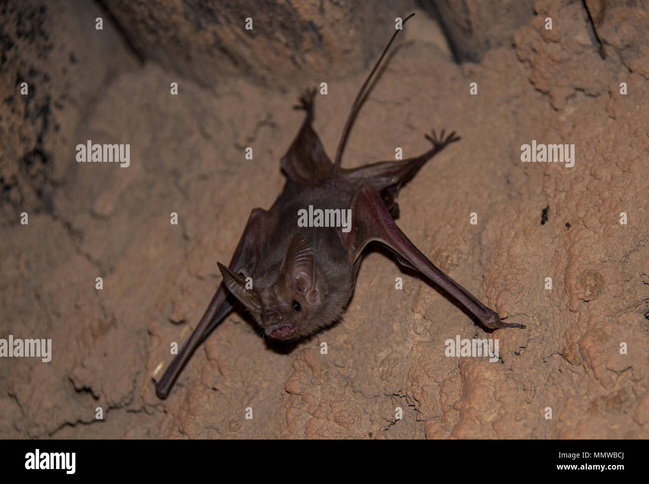 Common small vampire bat at sands cave - Stock Image