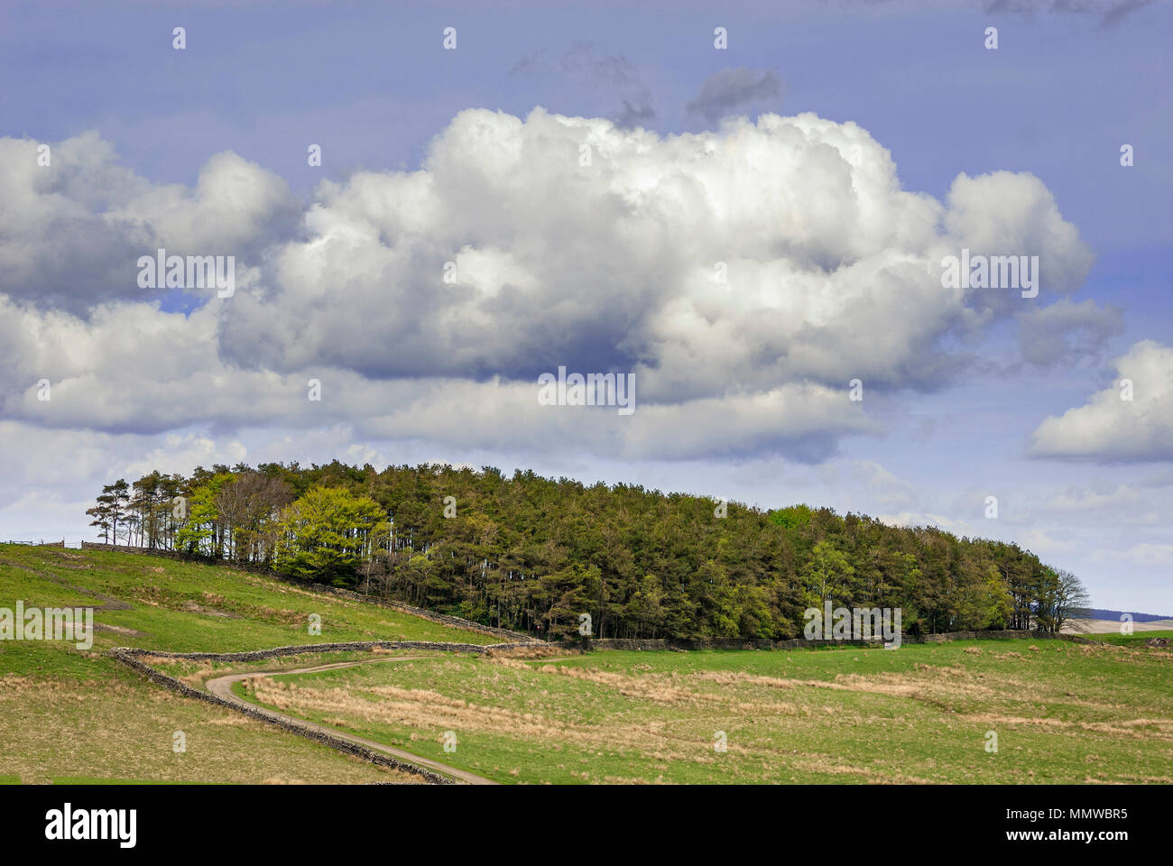 Woodland. Fluffy clouds Blue Sky. Northumberland. - Stock Image