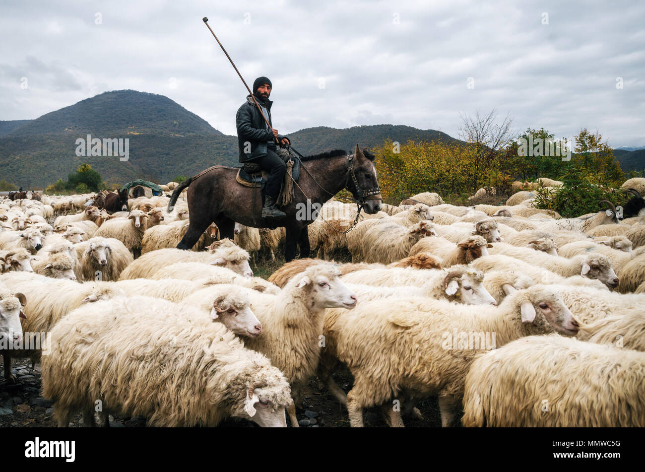 Zhinvali village, Mtskheta-Mtianeti, Georgia - October 21, 2016: Shepherd with crook riding a horse and herding a group of sheep - Stock Image