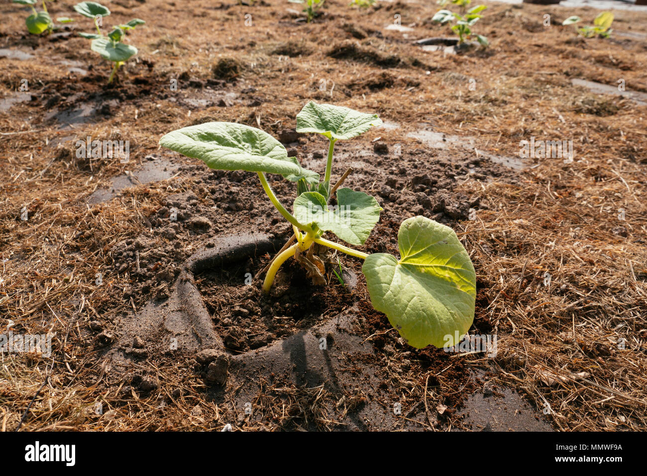 Red kuri squash plant in a garden plot with a biodegradable and ...