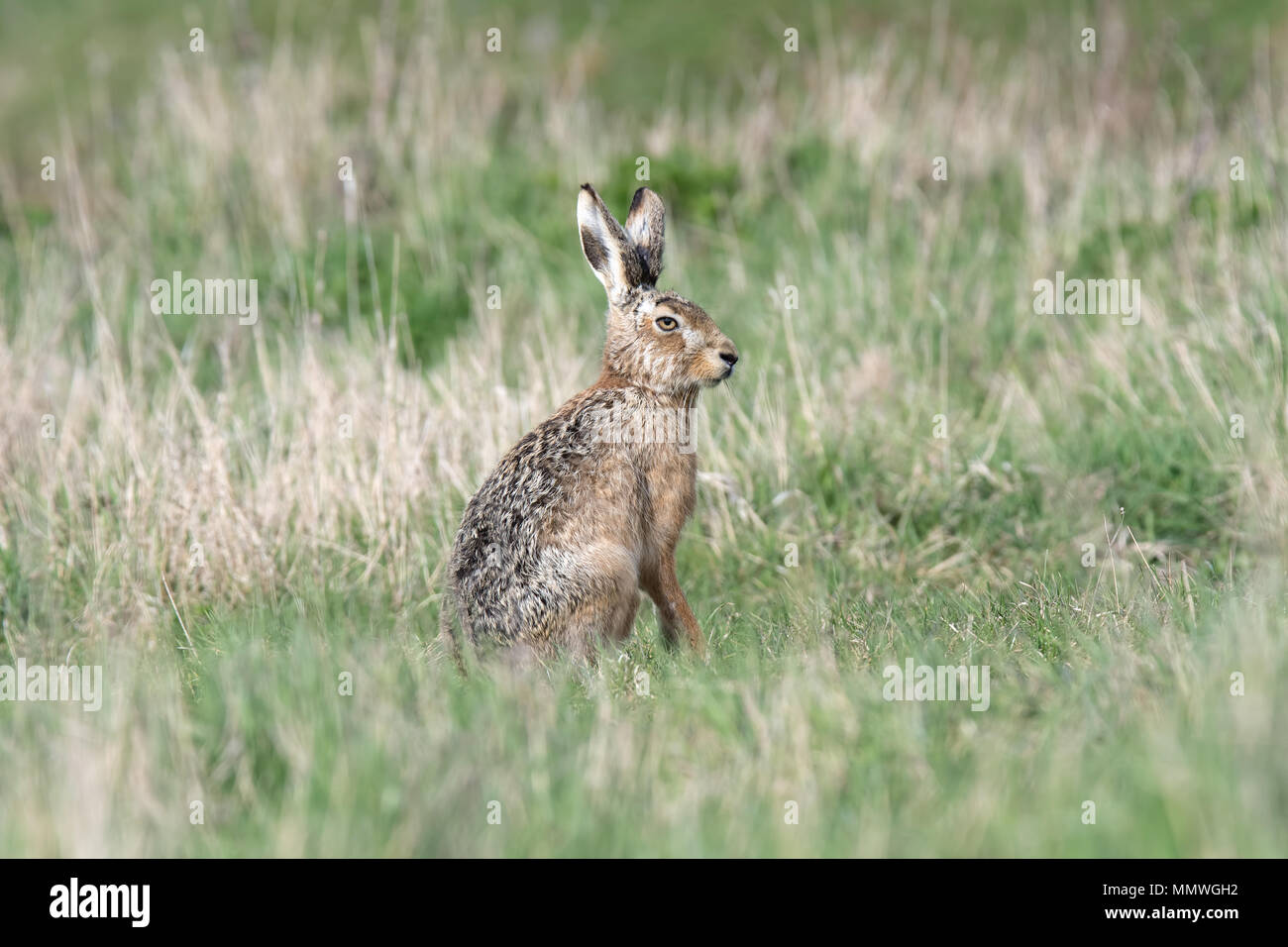 Brown Hare sitting upright - Stock Image