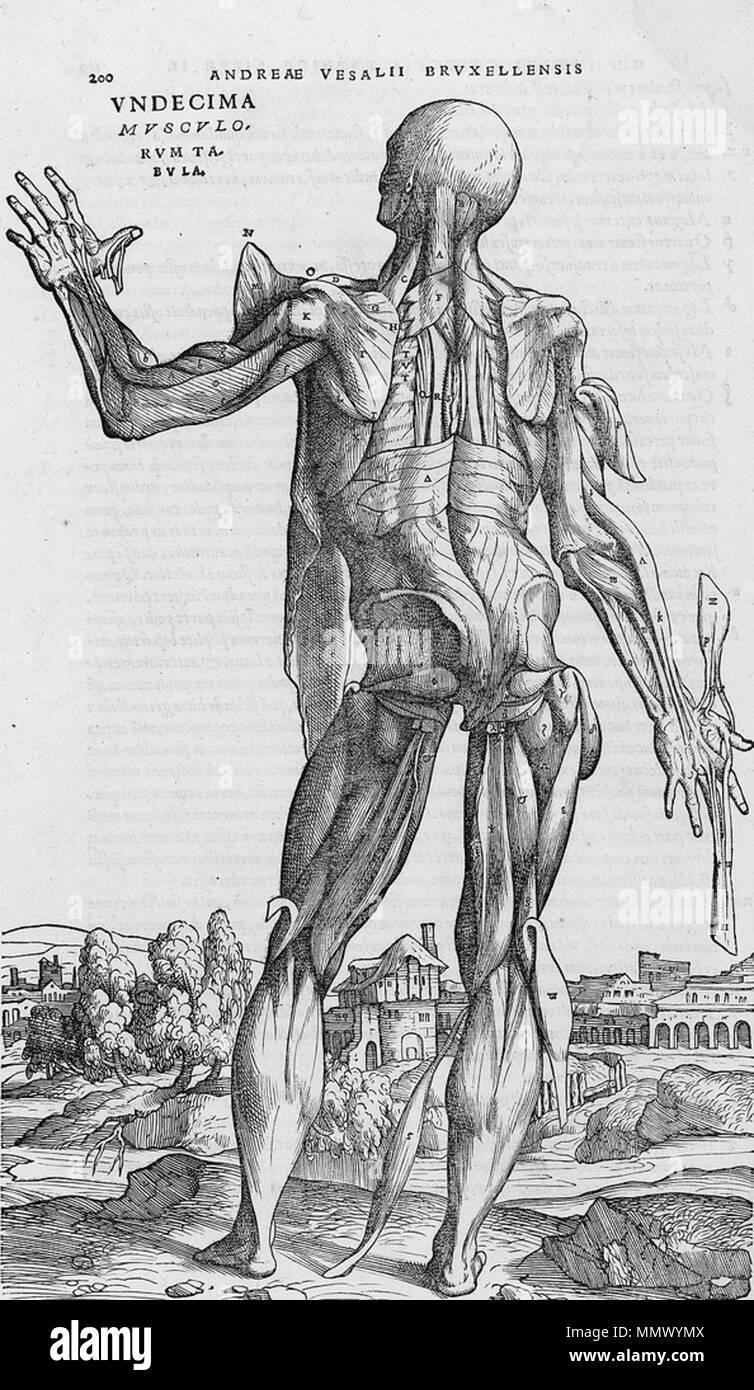 English Dissected Human Body 1543 Andreas Vesalius 15141564