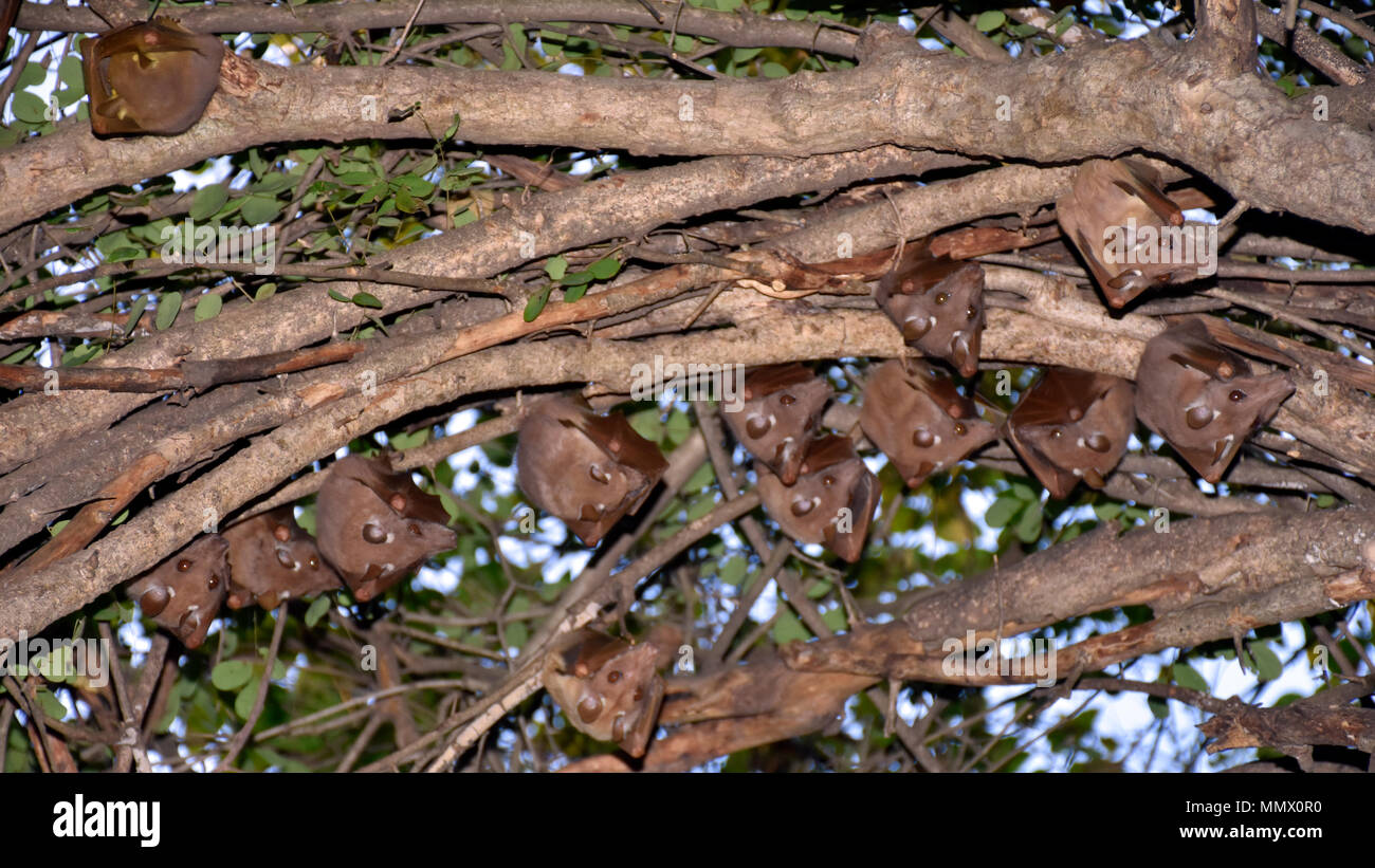 A group of Peter's epaulette fruit bats, Epomophorus crypturus, hangs from a tree, Kruger National Park, South Africa - Stock Image