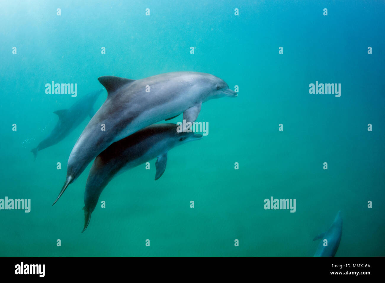 Bottlenose dolphin, Tursiops sp. (possibly T. aduncus), swims with calf, Coffee Bay, Eastern Cape Wild Coast, South Africa - Stock Image