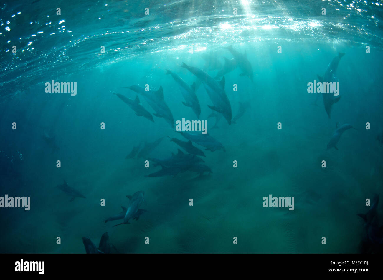 Bottlenose dolphins, Tursiops sp., Coffee Bay, Eastern Cape Wild Coast, South Africa - Stock Image