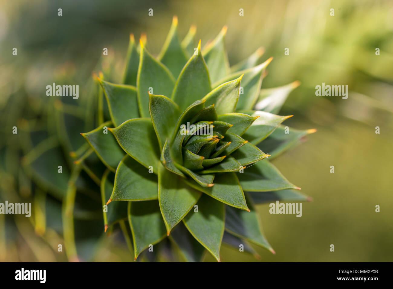 Monkey Puzzle Tree, Brödgran (Araucaria araucana) - Stock Image