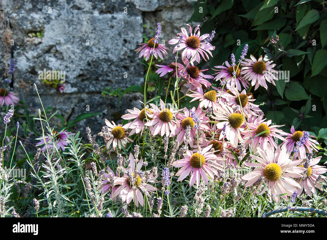 Pretty pink Echinacea purpurea (eastern purple coneflower) in bloom. Commonly used in the pharmaceutical trade and is an indigenous herbal medicine. - Stock Image