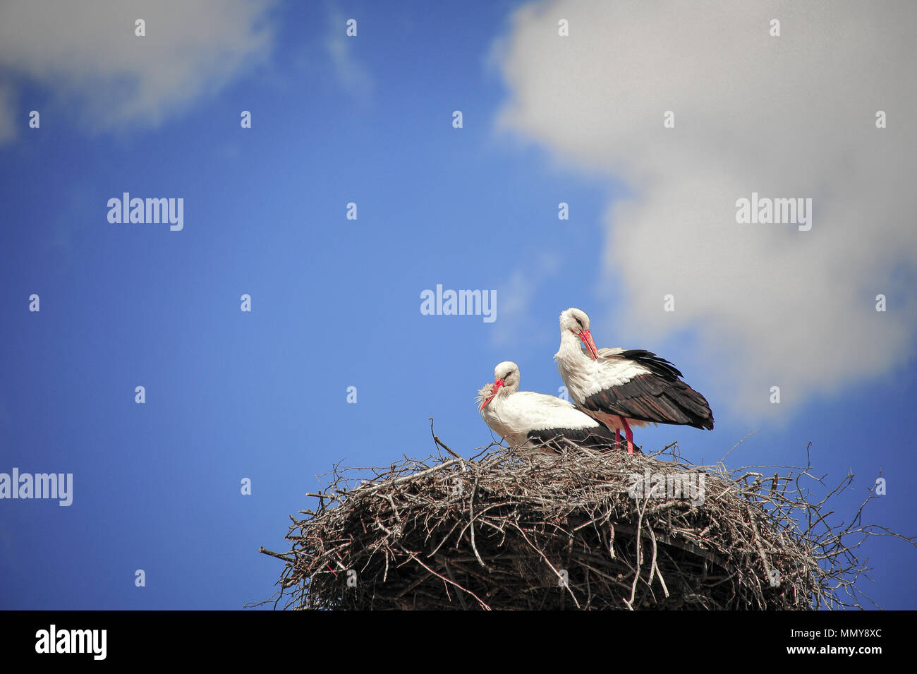 A pair of giant white storks (Ciconia ciconia) sit on their nest, silhouetted high up, against a deep blue sky background. - Stock Image