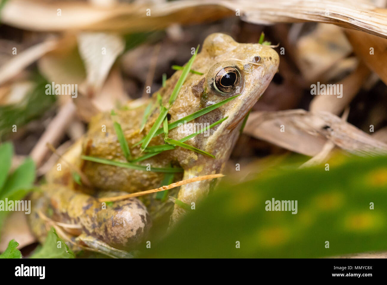 A common frog covered in grass clippings after narrowly avoiding a garden lawn mower, England. - Stock Image