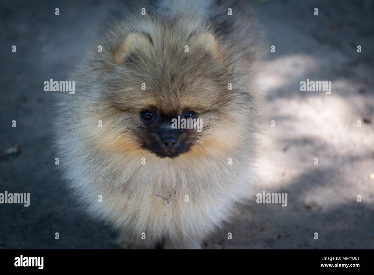 Fluffy White Pomeranian Puppy Stock Photos Fluffy White Pomeranian