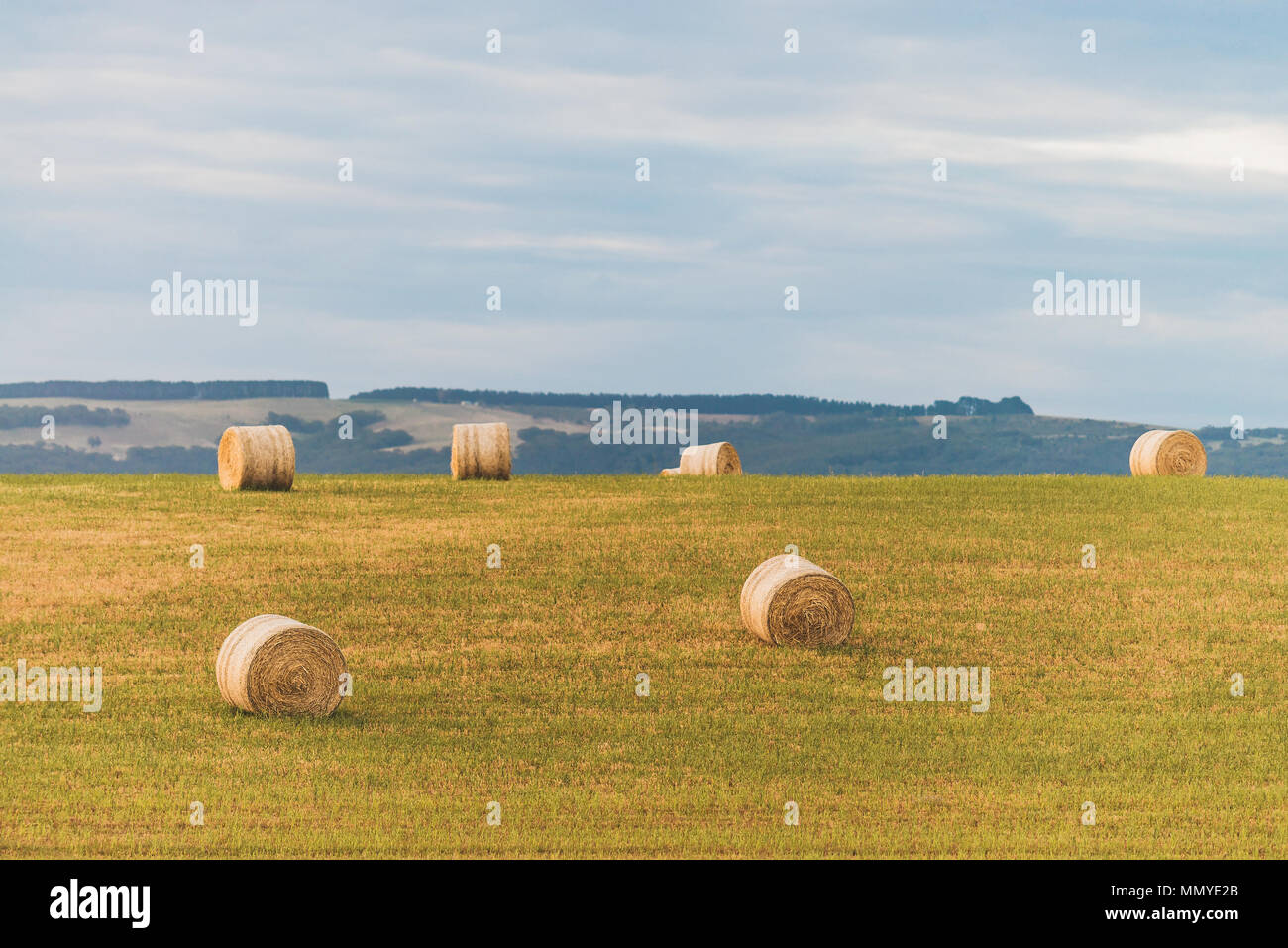 Round hay bales on the field after harvest for feeding cattle in McLaren Vale, South Australia Stock Photo