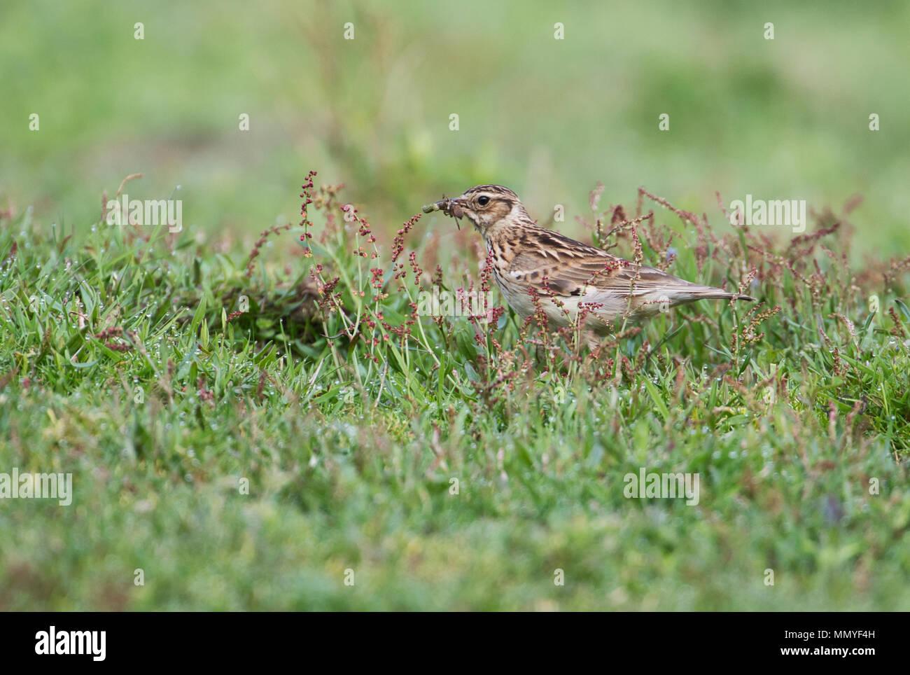 Woodlark (Lullula arborea) gathering invertebrate food - Stock Image