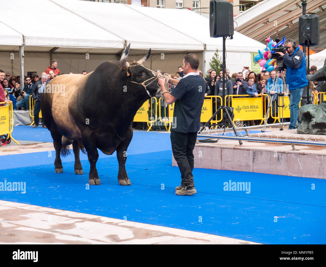 OVIEDO, SPAIN - May 12, 2018:  Huge bull on the breeding exhibition at the Plaza Ferroviarios Asturianos on the Ascension Fair, Oviedo, Spain. - Stock Image