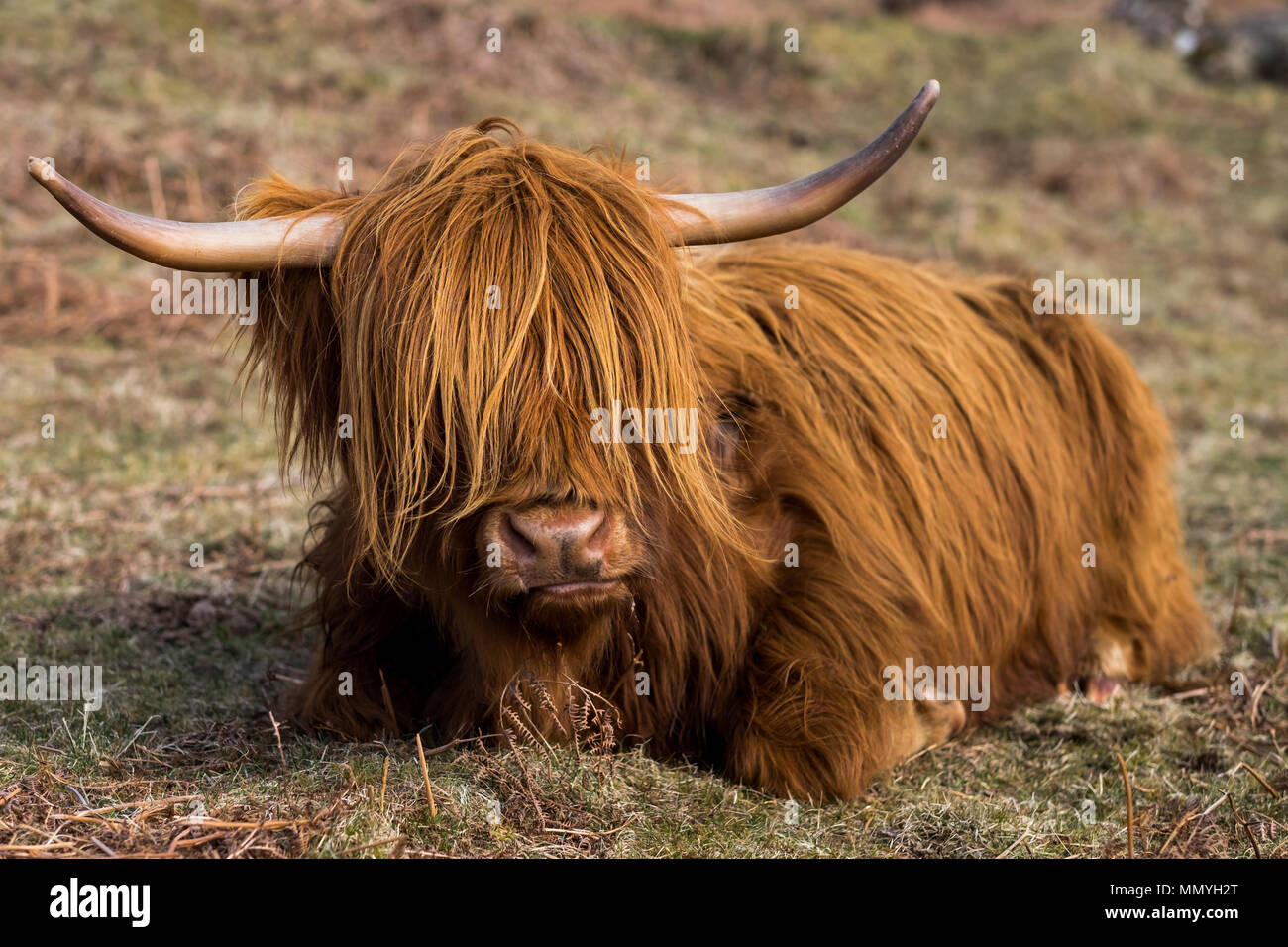 Close-up of a Scottish highland cow in a field in Glencoe, Scotland. - Stock Image