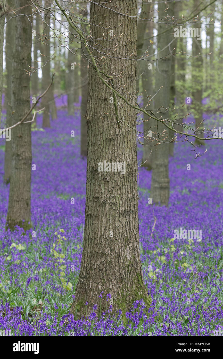 Bluebell woodlands in England - Stock Image